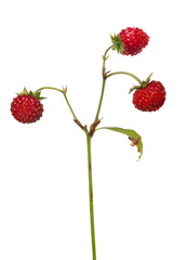 three dar red isolated wild strawberries