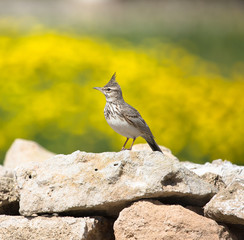 crested Lark (Galerida cristata) sitting on a rock with a beauti