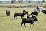 Camargue, mucche 7