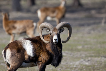 Mouflon looking at camera