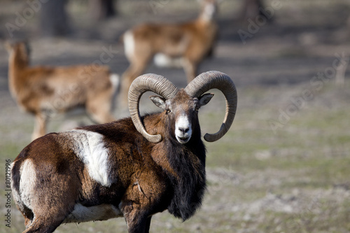 Foto op Plexiglas Schapen Mouflon looking at camera