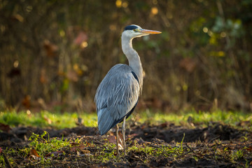 Great blue heron walks in a forest