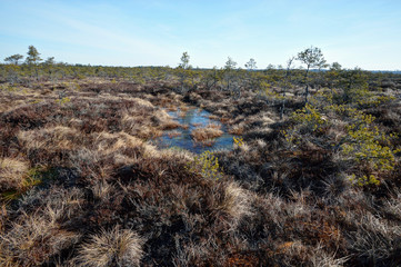 Bog with pine trees, Estonia