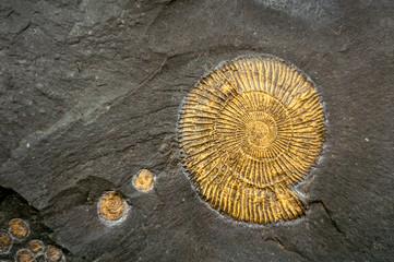 Fossil snail ammonite