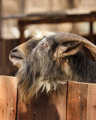 The portrait of the goat behind the fence