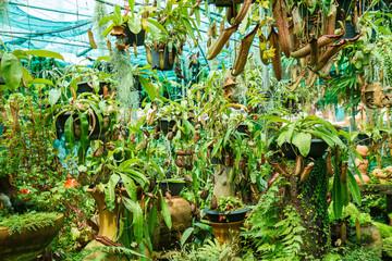 Nepenthes in garden