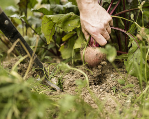 Hand pulling out a beetroot plant from the soil.
