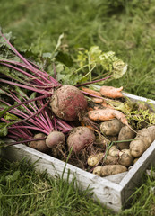 Wooden box full of freshly picked vegetables, including carrots, beetroots and potatoes.