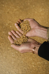 Close up of a man's hands pouring wheat from one hand into the other.