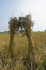 Two sheaves of wheat in a field in Gloucestershire.