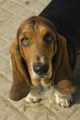 Close up portrait of a Basset Hound.