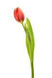 red tulip flower on white
