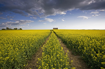 A landscape of flowering canola crops, with yellow flowers. The planted prairie.