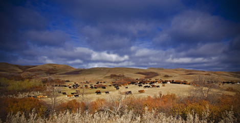A large herd of cattle on open grassland. Roundup.