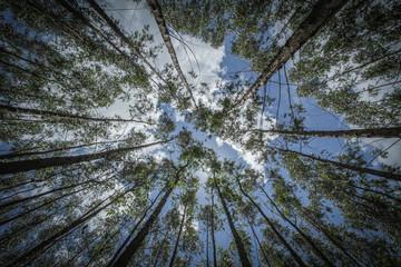 Céu visto por entre floresta de eucaliptos