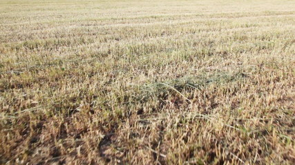 Field with numbers of stalks of short dry grass