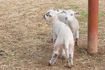 2匹の子羊