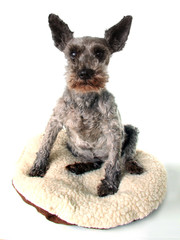 Very old funny looking Schnauzer