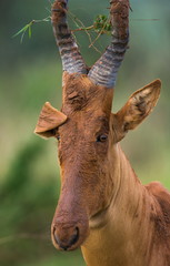 Portrait of antelope. Funny picture. Uganda.