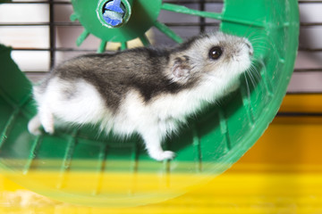 active hamster running on a wheel