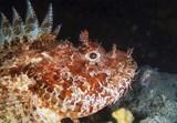 Mediterranean Sea, rockfish (Scorpaena scrofa) - FILM SCAN