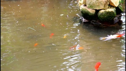 Gold fish in the man made pond in the park