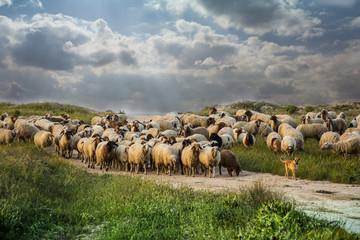 весенний пейзаж ,лужайка с овцами