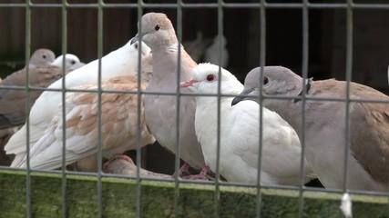 Tauben in Gefangenschaft