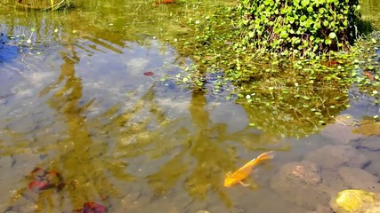 Yellow  Gold  fish at the hand made pond