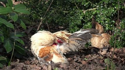 Huhn bei der Federpflege