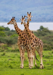 Three giraffe in savannah. Uganda.