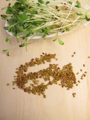 Rotklee Sprossen und Samen