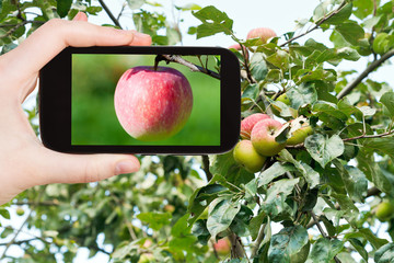 tourist photographs of pink apple outdoors