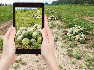 tourist photographs of ripe watermelons at field