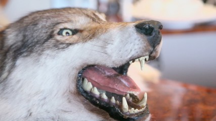 Muzzle with grin jaws of stuffed wolf, closeup view in motion