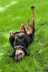 the dog of breed a Rottweiler goes for a drive on a grass on a s
