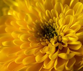 Yellow  fresh chrysanthemum, floral background.