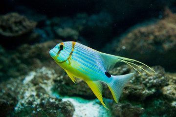 Snapper - Symphorichthys spilurus
