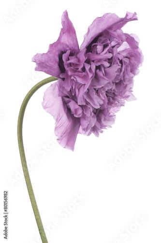 Foto op Canvas Lilac poppy