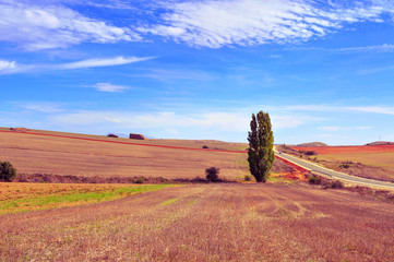 cornfield landscape in the province of Soria, Spain