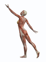 3D female figure reaching with muscle map