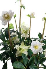 fiori di helleborus niger