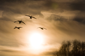 swans on a background of the sky