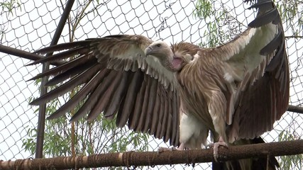 A giant vulture flapping its wings- Real-time