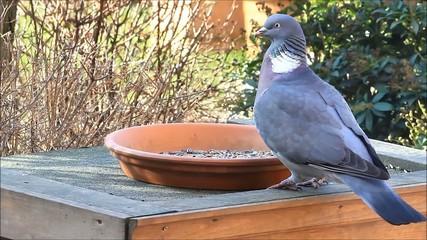 Wood pigeon, big, dove, feeding bird food