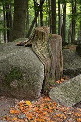 Baumstumpf auf dem Fels