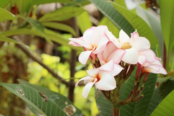 White plumeria in nature at the garden