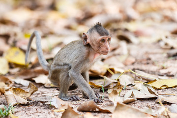 Little Monkey (Crab-eating macaque) on ground in Thailand