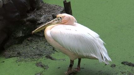 Pelican in prey Position