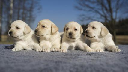 Yellow dogs litter